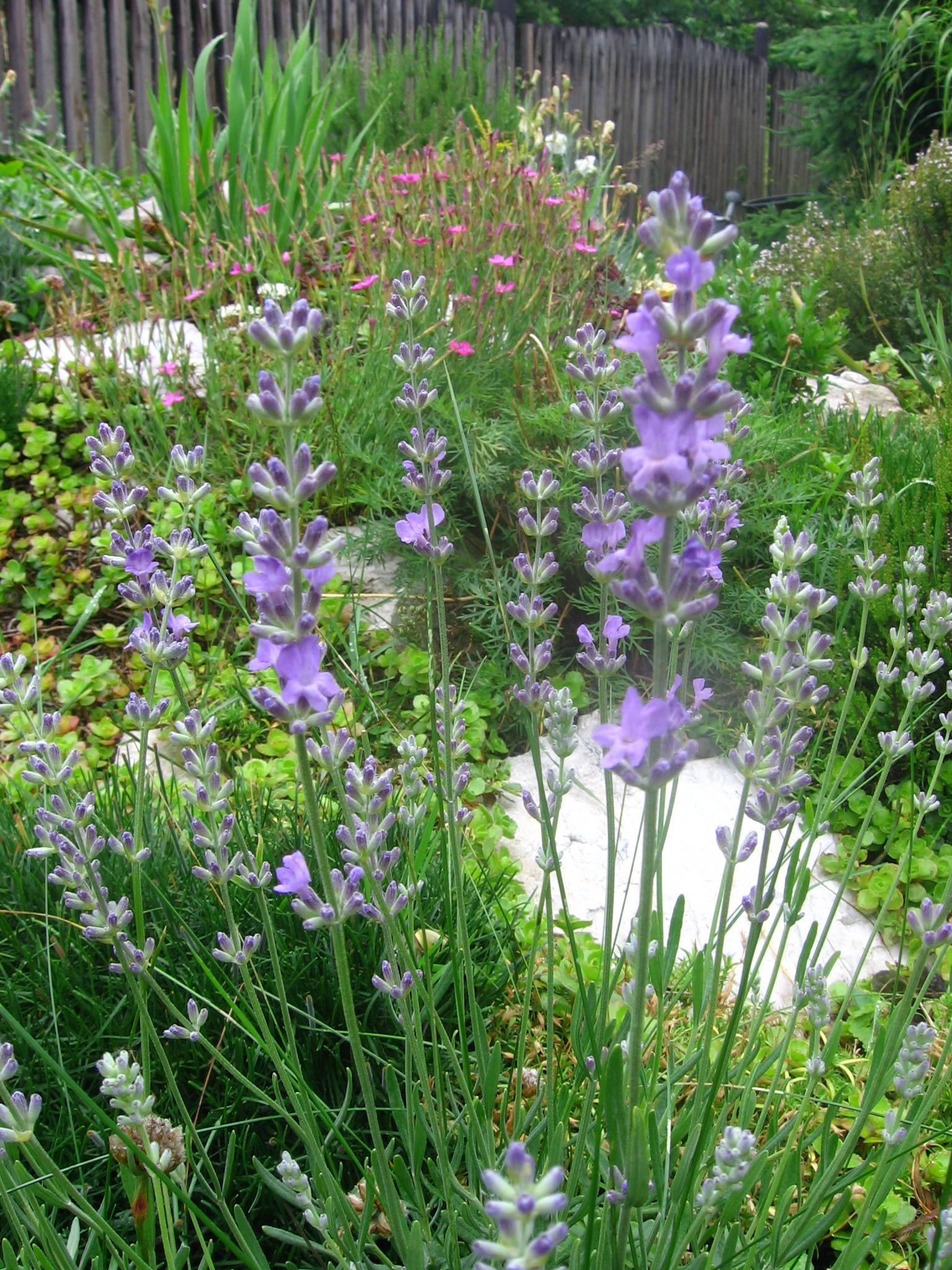 lawenda wąskolistna, uprawa lawendy, pachnąca lawenda, rośliny pachnące, zioła