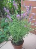 lawenda francuska, zdjęcia roślin