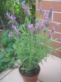 lawenda francuska, zdjęcia roślin, galeria bylin