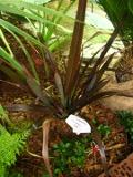 len nowozelandzki, zdjęcia rośliny, galeria roślin