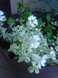 lepnica nadmorska, zdjęcia roślin, galeria roślin