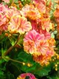 lewizja liścieniowa, zdjęcia roślin, galeria roślin