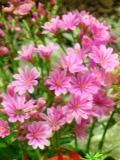Ogrody, zdjęcia bergeni sercowatej, bergenia sercowata w ogrodzie