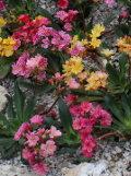 ogród kwiaty ogrodowe , byliny,  kwiaty kwitnące wiosną, byliny, lewizje, lewizja liścieniowa