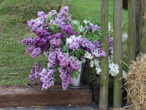 cięcie lilaków, ogród , rośliny do ogrodu maj w ogrodzie kalendarz ogrodnika, ogrodnik-amator.pl