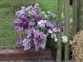 ciecie lilaków, krzewy ogrodowe, ozdobne lilak, bez