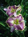 Ogrodnik-amator, opis rośliny, Liliowiec, Hemerocallis. Uprawa liliowców, Daylily, liliowce, uprawa liliowców, kwiaty wieloletnie, byliny, kwiaty efektownie kwitnące