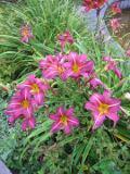 ogr�d kwiaty ogrodowe , byliny,  kwiaty kwitn�ce latem liliowiec, liliowce