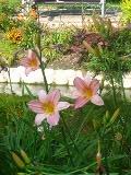 Ogrody, rośliny  wieloletnie, byliny, liliowcer