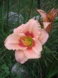 Ogrody, rośliny, liliowiec, liliowce