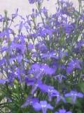 Ogrody, zdjęcia lobelii, lobelia, stroiczka w ogrodzie