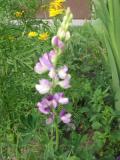 łubin ogrodowy