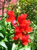 ogród ozdobny , rośliny kwiaty jednoroczne, wyżlin, lwia paszcza, lwie paszcze,  ogród ozdobny, rośliny  na lato i jesień