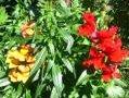ogr�d ozdobny , ro�liny jadnoroczne, kwiaty, wy�lin, lwia paszcza
