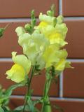 Ogrodnik-amator, opis rośliny, Wyżlin większy, lwia paszcza, Antirrhinum majus, Snapdragon, uprawa wyżlinów, uprawa lwiej paszczy, opis rośliny, kwiaty jednoroczny wysiewany z rozsady, kwiaty wielokolorowe, kwiaty o oryginalnym kształcie, kwiaty letnie