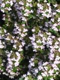 Ogrody, zdjęcia macierznki, tymianku, tymianek w ogrodzie
