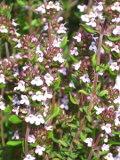 ogród użytkowy , rośliny przyprawowe , rośliny  zielarskie, macierzanka, tymianek,  uprawa uprawa macierzanki, uprawa tymianku