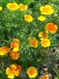 Ogrody, zdjęcia pozłotki, maczek kalifornijski, w ogrodzie