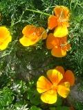 Ogrodnik-amator, opis rośliny, Maczek kalifornijski, pozłotka, eszolcja, Eschscholzia californica,  California poppy, uprawa pozłotki, pielegnacja maczków kalifornijskich, opis rośliny, kwiaty jednoroczny siane wprost do gruntu, kwiaty w ognistych kolorach, żółte, pomarańczowym i karminowym kolorze