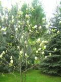 drzewa liściaste magnolia brooklińska