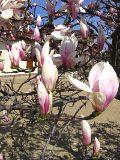 drzewa liściaste magnolie