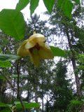maganolia siebolda, zdjęcia roślin