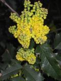 krzewy ogrodowe,  rzewy łatwe w uprawie, krzewy liściaste, mahonia pospolita