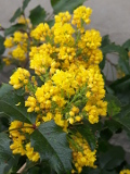 Ogrodnik-amator, opis rośliny, Mahonia pospolita,  Mahonia aquifolium, Oregon-grape, uprawa mahonii pospolitej, krzewy łatwe w uprawie