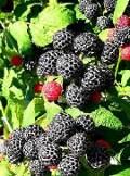 malina czarna, zdjęcia roślin