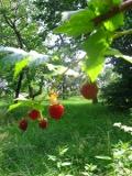 Ogrodnik-amator, opis rośliny, Malina właściwa, Rubus idaeus, Raspberry, uprawa malin, krzewy owocowe, owoce jagodowe, krzewy o czerwonych owocach, ogród owocowy, drzewa i krzewy owocowe, rośliny użytkowe, rośliny owocujące, rośliny jagodowe
