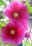 Ogrodnik-amator, opis rośliny, Malwa, prawoślaz, Althaea rosea, jak uprawiać malwę, malwa w ogrodzie, Ogrodnik-amator. Uprawa malwy, opis rośliny