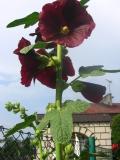 kwiaty trudniejsze w uprawie, kwiaty dwuletnie, malwa, kwiaty do ogródka