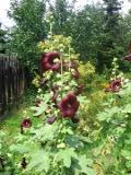 Ogrody, zdjęcia malwy, malwa, ogród wiejski, malwy w ogrodzie