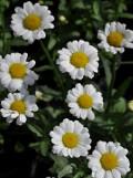 Ogrodnik-amator, opis rośliny, Margerytka, złocień wielki, jastruń, Chrysanthemum maximum, Shasta Daisy, uprawa margerytek, uprawa złocieni wielkich, kwiaty wieloletnie, byliny