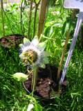 ogród pnącza ogrodowe , kwiaty, meczennica modra, męczennica błękitna, passiflora