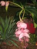 medinilla, rośliny  pokojowe