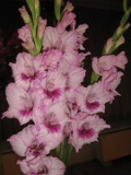 Ogrodnik-amator, opis rośliny, Mieczyki, Mieczyk ogrodowy, Gladiolus hybridus, uprawa mieczyków ogrodowych, opis rośliny, kwiaty wieloletnie, rośliny cebulowe, rośliny bulwiaste