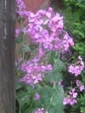 Ogrodnik-amator, opis rośliny, Miesiącznica dwuletnia, Lunaria annua, uprawa miesiącznicy dwuletniej,  kwiaty dwuletnie,  kwiaty wiosenne, kwiaty fioletowe, rośliny do słońca, rośliny na każdą glebę, kwiaty do ogrodu wiejskiego,  kwiaty ogrodowe, kwiaty do ogrodu naturalistycznego, kwiaty na suche bukiety