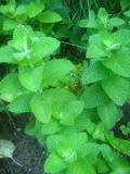 Ogrody, zdjęcia rośliny, przyprawowe, zioła, mieta, ogród użytkowy