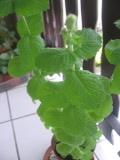 Ogrodnik-amator, opis rośliny, Mięta, Mentha, Mint, uprawa mięty, rośliny użytkowe, rośliny zielne, zioła,  byliny, bylina mieta, roślina o aromatycznych liściach, zioło do uprawy w doniczce, rośliny pachnące