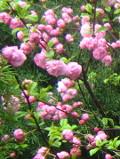 Ogrodnik-amator, opis rośliny, Migdałowiec trójklapowy, migdałek, Prunus triloba, Flowering Almond, uprawa migdałowca, migdałek, opis rośliny