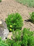 Ogrodnik-amator, opis rośliny, Miłek wiosenny  łac. Adonis vernalis ang. Sweet Vernal, uprawa miłka  wiosennego, kwiaty wieloletnie, byliny, kwiaty wiosenne, kwiaty żółte, kwiaty na skalniak,  kwiaty ogrodowe, kwiaty do ogrodu skalnego, , kwiaty wiosny, kwiaty łatwe w  uprawie,  rośliny kwitnące wiosną