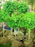 ogród w stylu japońskim, drzewa, miłorząb