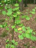 Ogrody, zdjęcia milorząb dwuklapwy w ogrodzie
