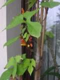 mina- gwiezdny powój, wilec klapowany, galeria roślin, zdjęcia roślin