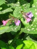 byliny , miodunka pstra, nakrapiane liście, miodunka w ogrodzie w ogrodzie