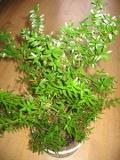 mirt zwyczajny,  Myrtus communis,  rosliny pokojowe, rośliny doniczkowe, krzew zimozielony, roślina śródziemnomorska