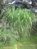 Ogrodnik-amator, opis rośliny, Miskant olbrzymi, Miscanthus giganteus, uprawa miskanta olbrzymiego, opis rośliny, trawy wieloletnie, byliny, trawy ozdobne, trawa wysoka
