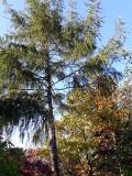 Ogrodnik-amator, opis rośliny, Modrzew europiejski, Larix decidua, European Larch,  uprawa modrzewia europejskiego, modrzew iglak, opis rośliny, drzewa iglaste