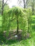 ogród ozdobny , drzewa ozdobne, drzewa użytkowe, rośliny ogrodowe, ogrody, morwa biała, drzewo kwitnące w maju, drzewo owocujące
